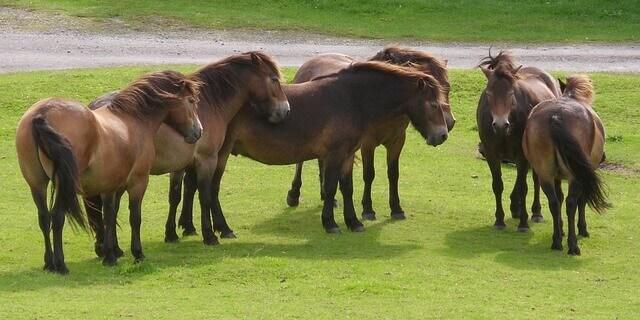 Pony Exmoor