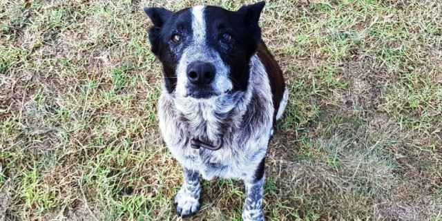 El perro australiano Max.