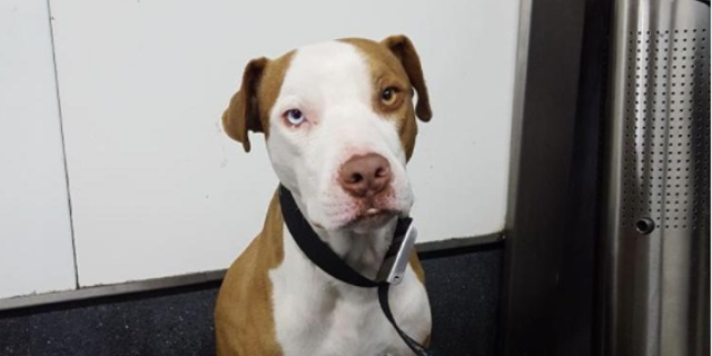 Pitbull salvado y adoptado por el policía (Foto: Twitter).