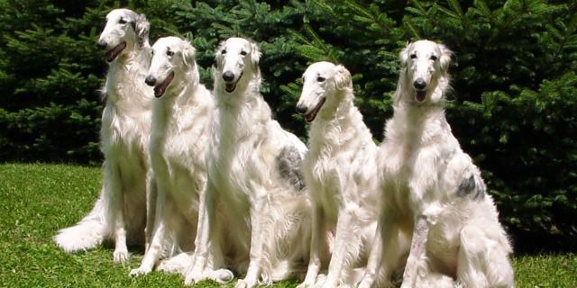 imagen de Perros galgos rusos o Borzois