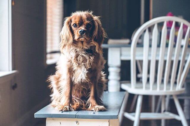 Perro encima de una mesa.
