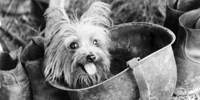 Smoky, un perro héroe en la II Guerra Mundial.