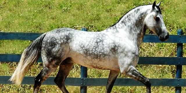 Caballo de la raza Mangalarga.