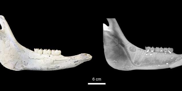 Mandíbulas de fósiles de caballos (Foto: CSIC).