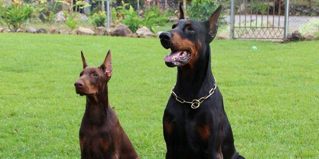 perros de raza dóberman