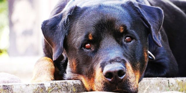 Perro de raza PPP rottweiler