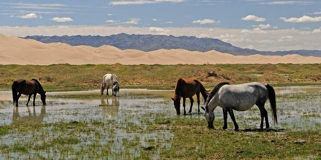 Caballos en Mongolia.