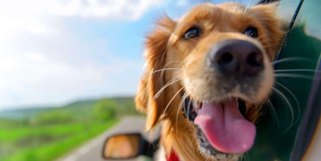 perro al que le gusta viajar en coche