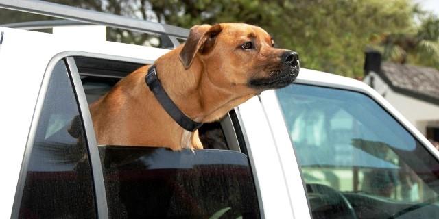 perro oliendo y olfateando desde el coche durante un paseo
