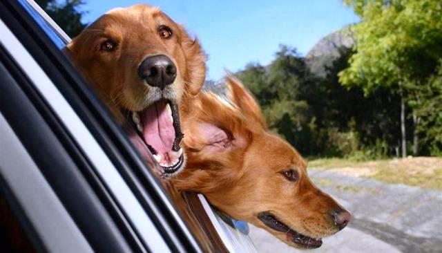 perros en coche excitados por el instinto de caza que el viaje dispara en ellos