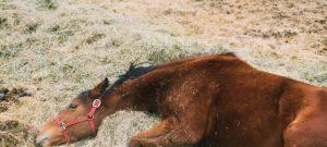 Colicos en caballos.