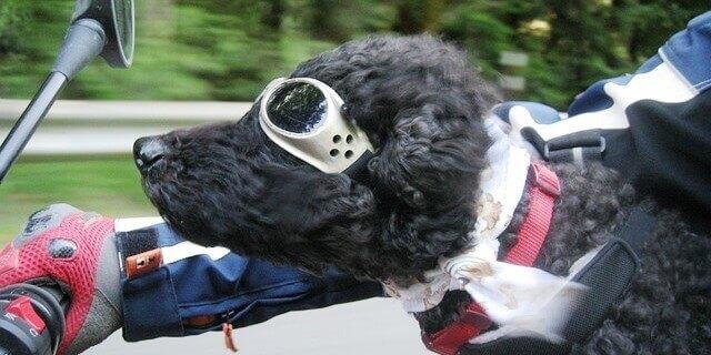 Como llevar a un perro en moto