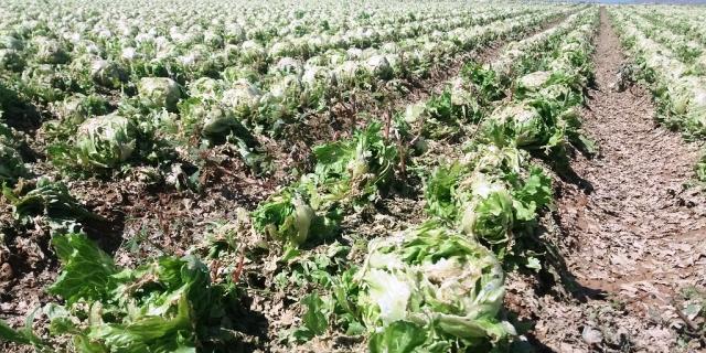 Plantación de lechugas destrozada por el pedrisco caído en Andalucía y cuyos productores recibirán indemnizaciones gracias al seguro
