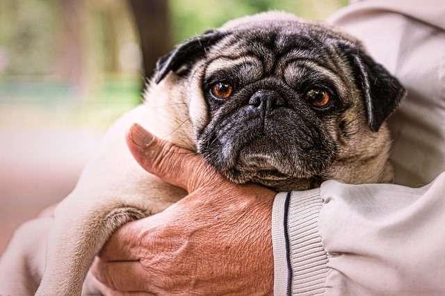 Hombre mayor sujeta a un perro pug.
