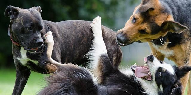imagen de perros que acaban de presentar jugando en el parque