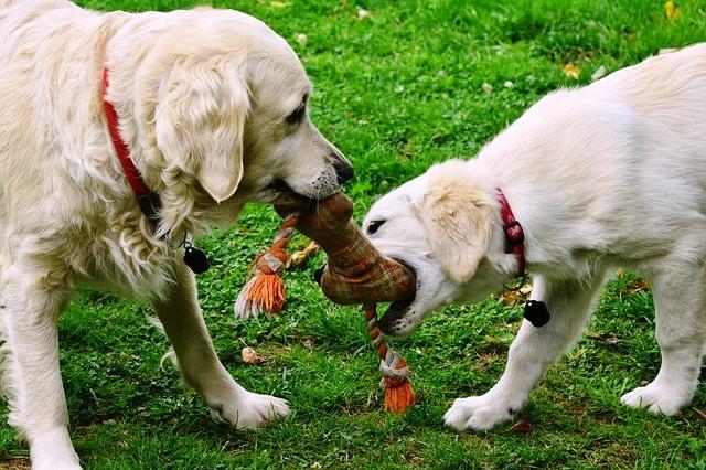 perros disputando un juguete