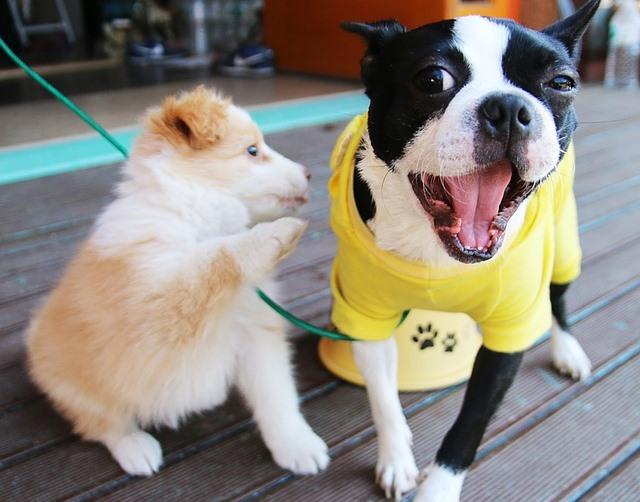 presentando a un cachorro a un perro mayor