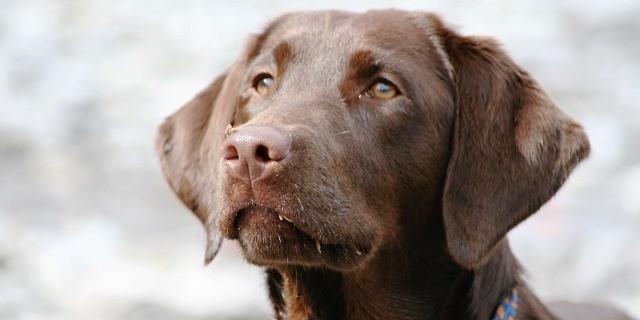 Perro labrador de color marrón.