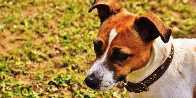 Perro de raza Jack Russell.