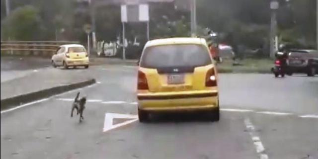 Perro corre tras el taxi.