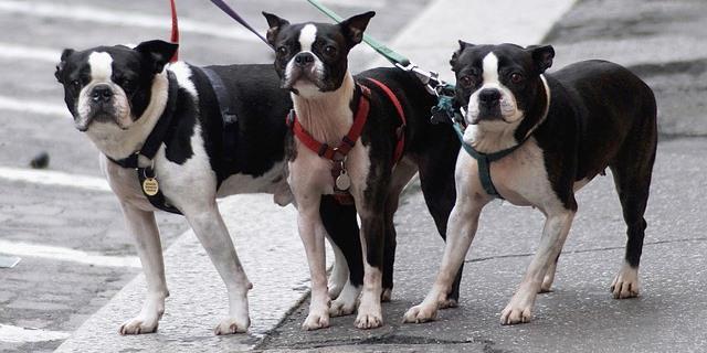 Perros pasean por la calle juntos.
