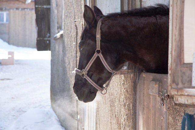 Un caballo descansa en su establo.
