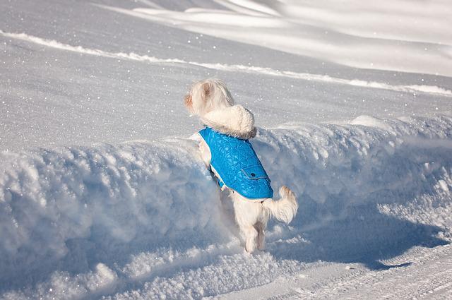 Perro abrigado juega en la nieve.