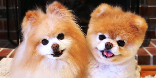 Boo, el perro más adorable del mundo