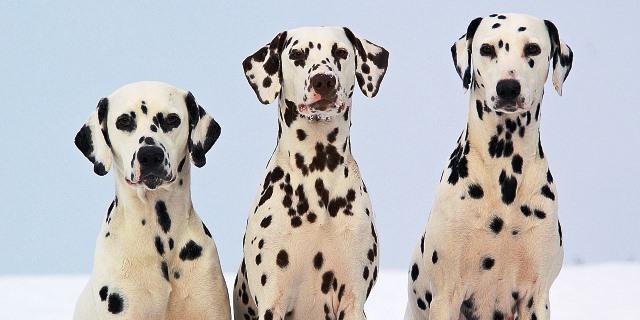 Perros dálmatas