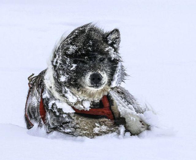 Perro de trineo juega con la nieve