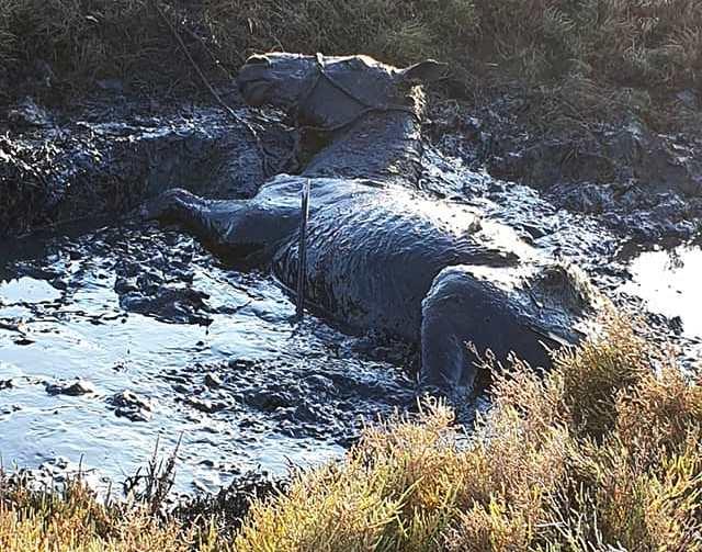 caballo ahogándose en el fango