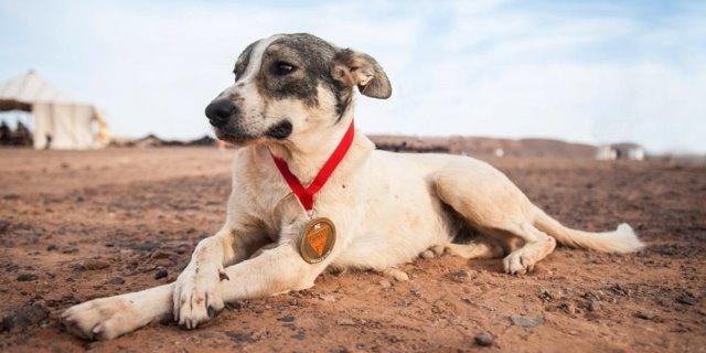 """Este año los casi mil participantes del Marathon des Sables no podrán olvidar a """"Cactus"""", un perro vagabundo que se sumó a la prueba en la segunda etapa y que alcanzó la meta de Merzouga después de hacer un 76º puesto en la """"etapa reina"""" de 76,3 kilómetros, que le valió la medalla del Marathon des Sables. Este año los """"sufridos"""" participantes en el Marathon des Sables, una durísima carrera de resistencia a través del desierto del Sáhara, no van a olvidar a """"Cactus"""", un perro vagabundo que decidió sumarse voluntariamente a la competición en la segunda etapa de 32,5 kilómetros y que durante casi una semana estuvo acompañando a los corredores hasta el final en Merzouga. La última edición del Marathon des Sables comenzó en la localidad de El Borouj con una primera etapa de 32,2 kilómetros, para después de recorrer 226 kilómetros a lo largo de seis días hasta conseguir llegar al corazón del Sáhara. Uno de los requisitos de esta prueba es que el agua está limitada a un máximo de 12 litros diarios, una cantidad que puede parecer excesiva pero que debe servir, entre otras cosas, para abordar la """"etapa reina"""" con un total de 76,3 kilómetros de recorrido. Fue en la llamada """"extralarga"""" donde Cactus cubrió la distancia en tan sólo 11,15 horas, un tiempo casi de récord que le convirtió en el 76º mejor clasificado cuando la media que realizaron la mayor parte de los corredores estuvo en torno a las 31 horas de promedio, un resultado que le valió a Cactus la prestigiosa medalla del Marathon des Sables.  A mitad de esta etapa Cactus sufrió un grave episodio de deshidratación que finalmente pudo ser solventado por uno de los participantes, veterinario de profesión, que con su rápida y eficaz actuación permitió que Cactus se pusiera en pie de nuevo y consiguiera alcanzar la línea de meta sin mayores problemas. Las tres primeras etapas del mítico Marathon des Sables cubrieron en esta ocasión una distancia entre 32,2 y 37,1 kilómetros, para llegar al cuarto día a la """"extralarga"""" y fin"""