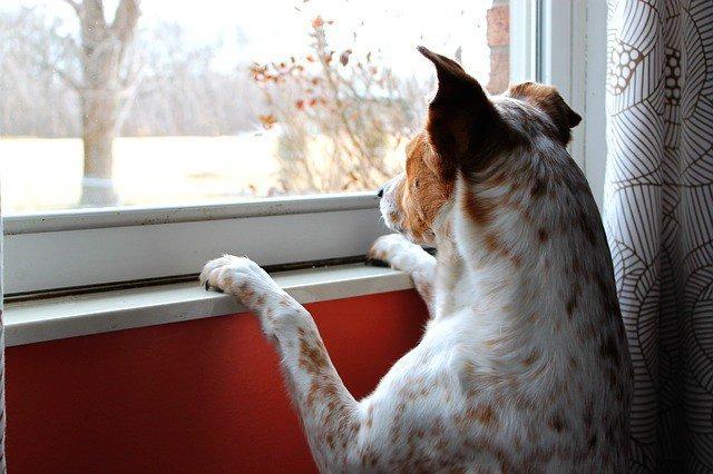 perro espera en casa