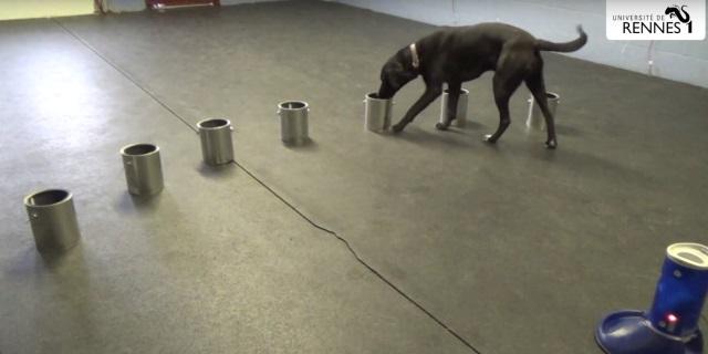 Perro huele muestras de sudor en la prueba