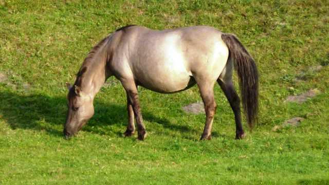 caballo konic