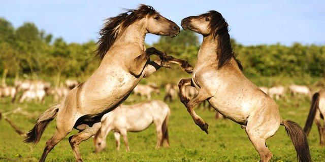 caballos konic