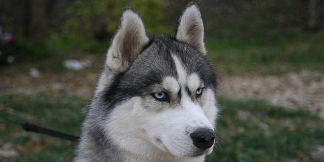 Husky detecta un cáncer a su propietaria