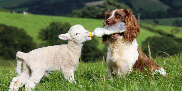 imagen de un perro y una oveja pequeña
