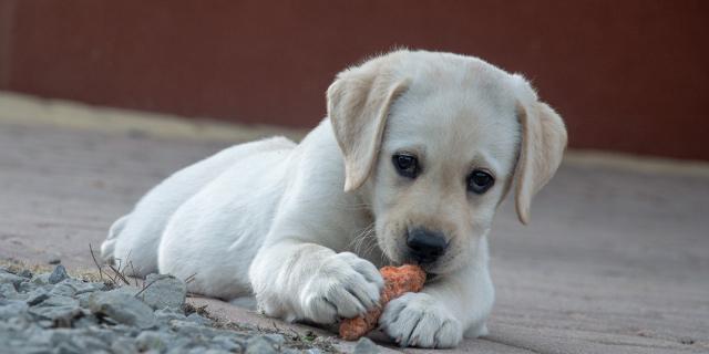 listeriosis en mascotas por listeria en carne cruda