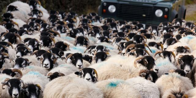 ovejas también provocan accidentes de tráfico provocados