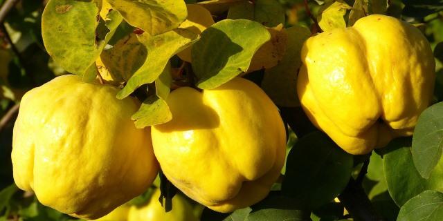 frutos de membrillo