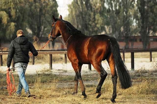 caballos jóvenes de dos años
