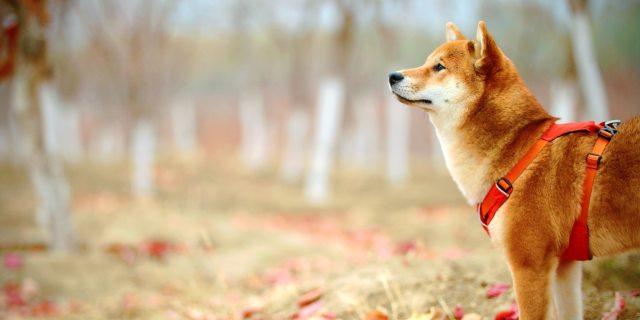 Angiostrongilosis  en perros