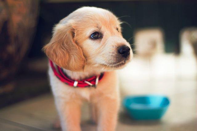 cachorro de ocho semanas come