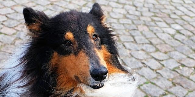 perro de cierta edad al que podrás enseñarle muchos trucos nuevos