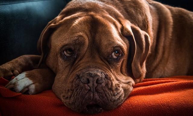 perro mayor
