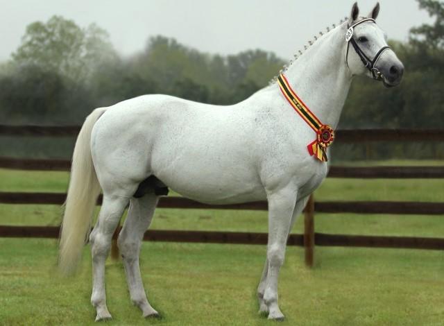 imagen caballo Holsteiner blanco