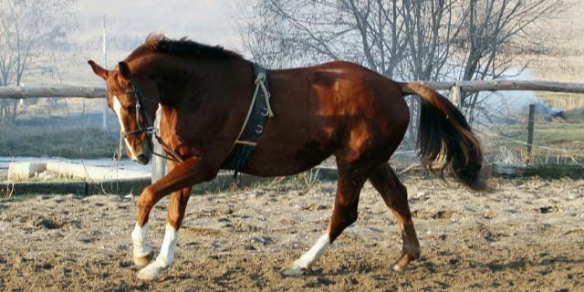 imagen de un caballo Holsteiner