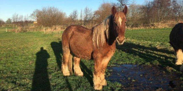 caballo Jutlandia