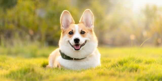 El corgi, un perro con leyenda